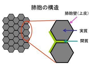間質と実質図.jpg