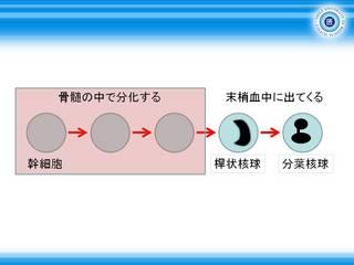 1好中球の分化過程.JPG